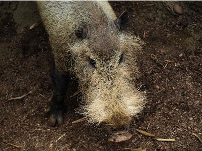 Palawan Bearded Pig
