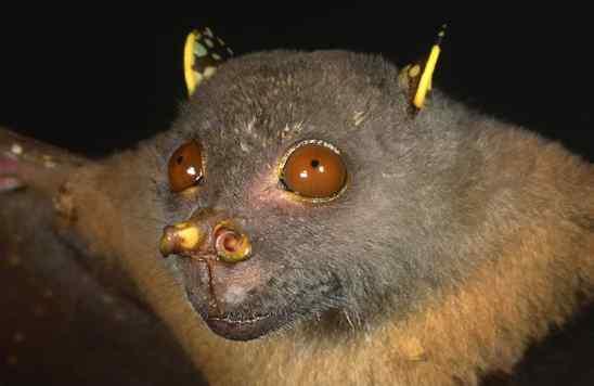 Philippine Tube-Nosed Fruit Bat