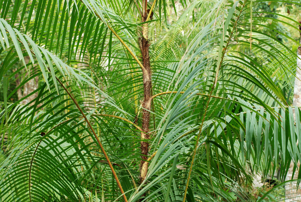 Rattan Palm (Calamus species)