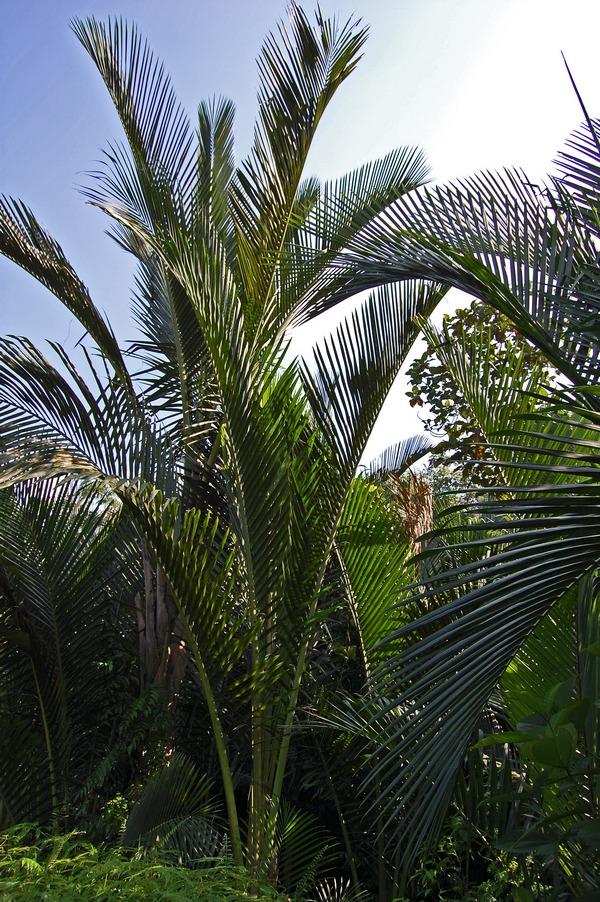 Sago Palm (Metroxylon sagu)