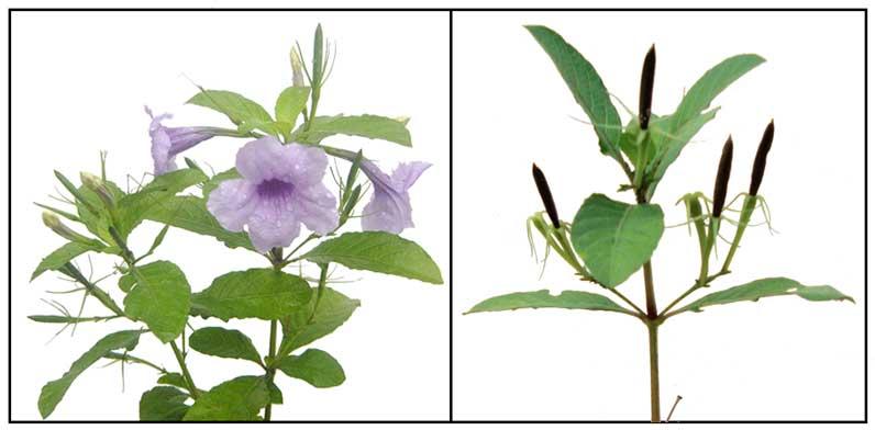 violet-popping-pod-ruellia-tuberosa
